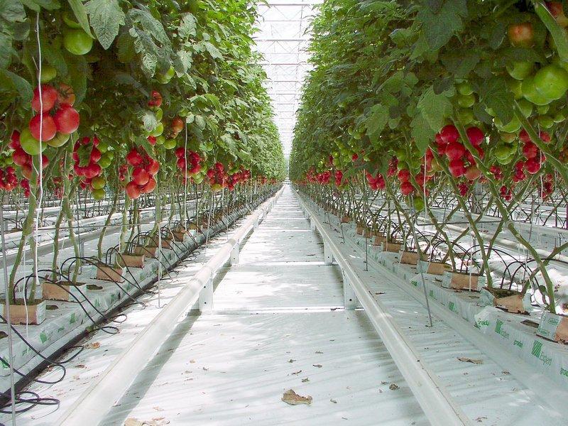 Tomates hydroponiques